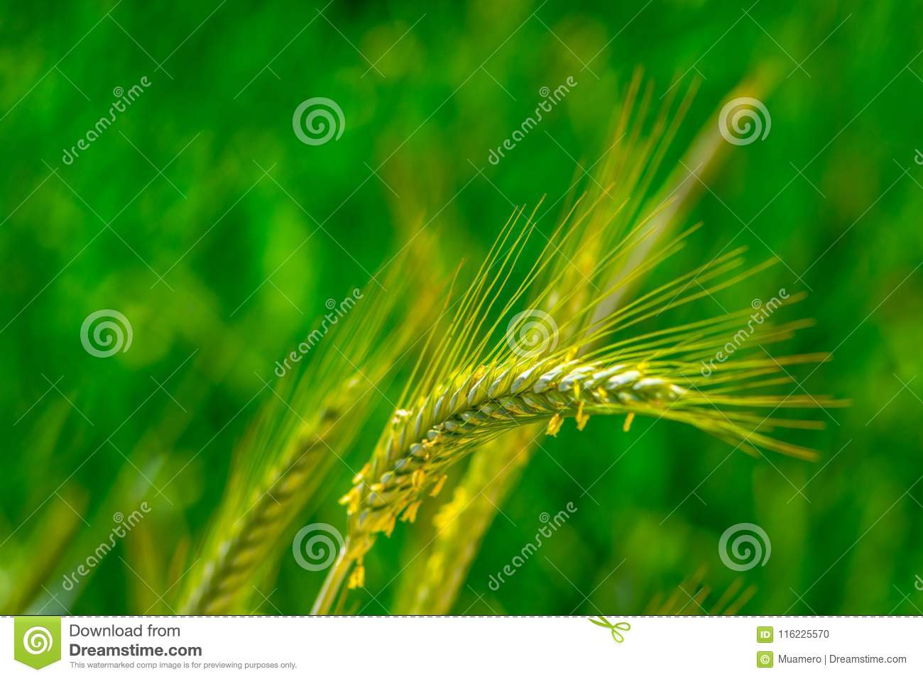 Triticale plant on the meadow