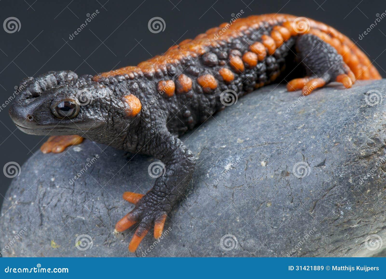 Tritone del coccodrillo/kweichowensis di Tylotriton