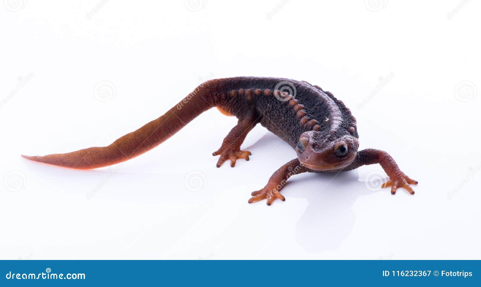 Tritone himalayano della salamandra su fondo bianco e vita sul Th