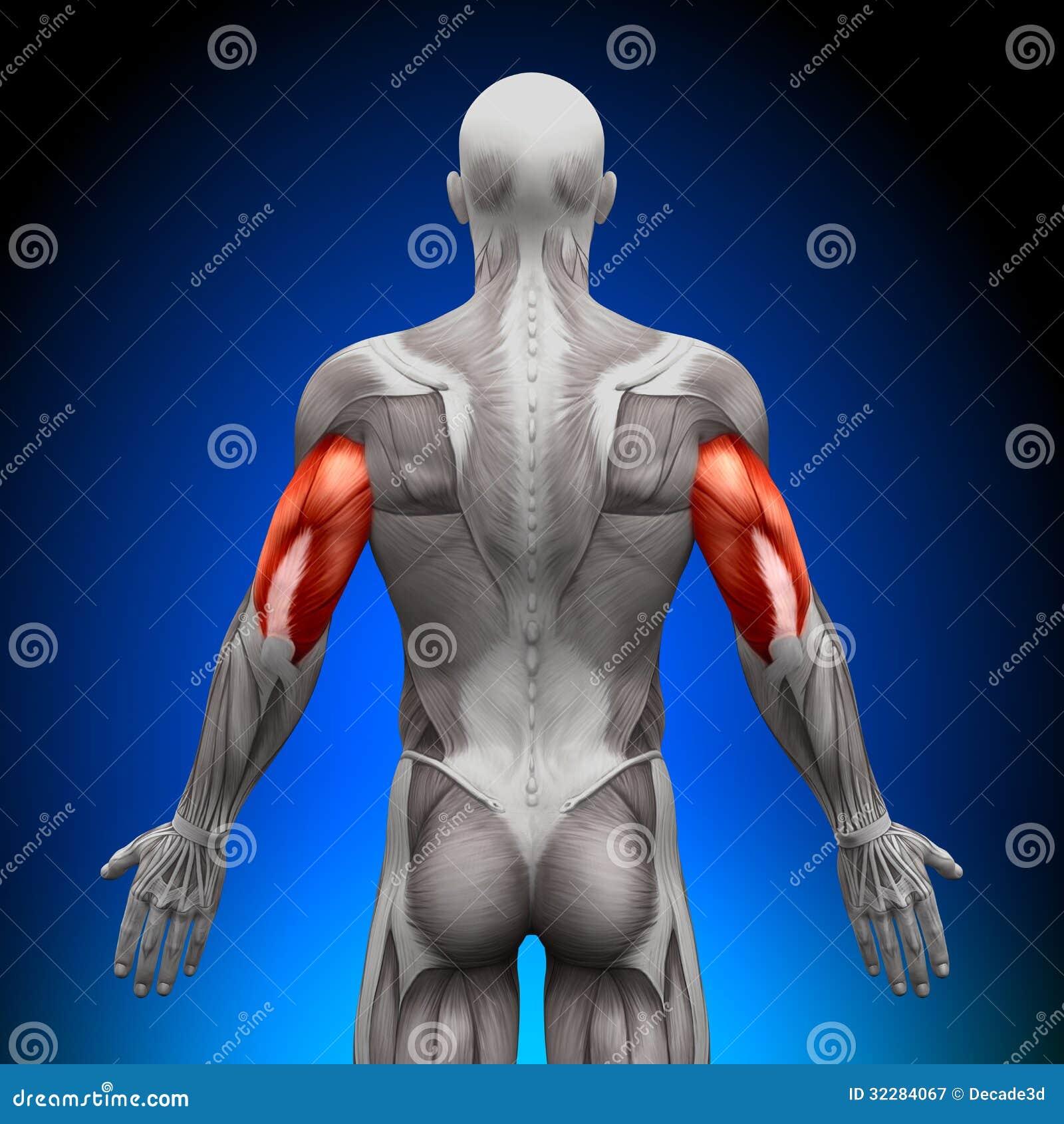 Trizeps - Anatomie-Muskeln stock abbildung. Illustration von ...