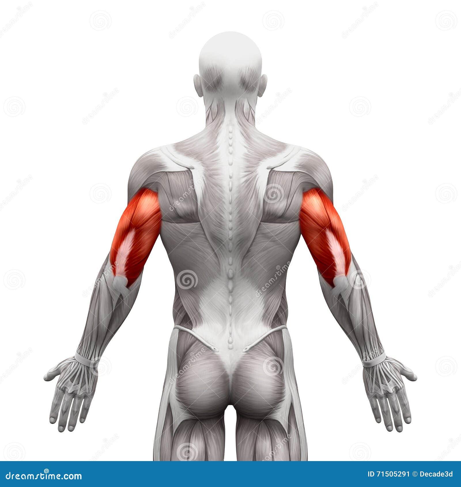 Ausgezeichnet Mann Muskelanatomie Bilder - Menschliche Anatomie ...