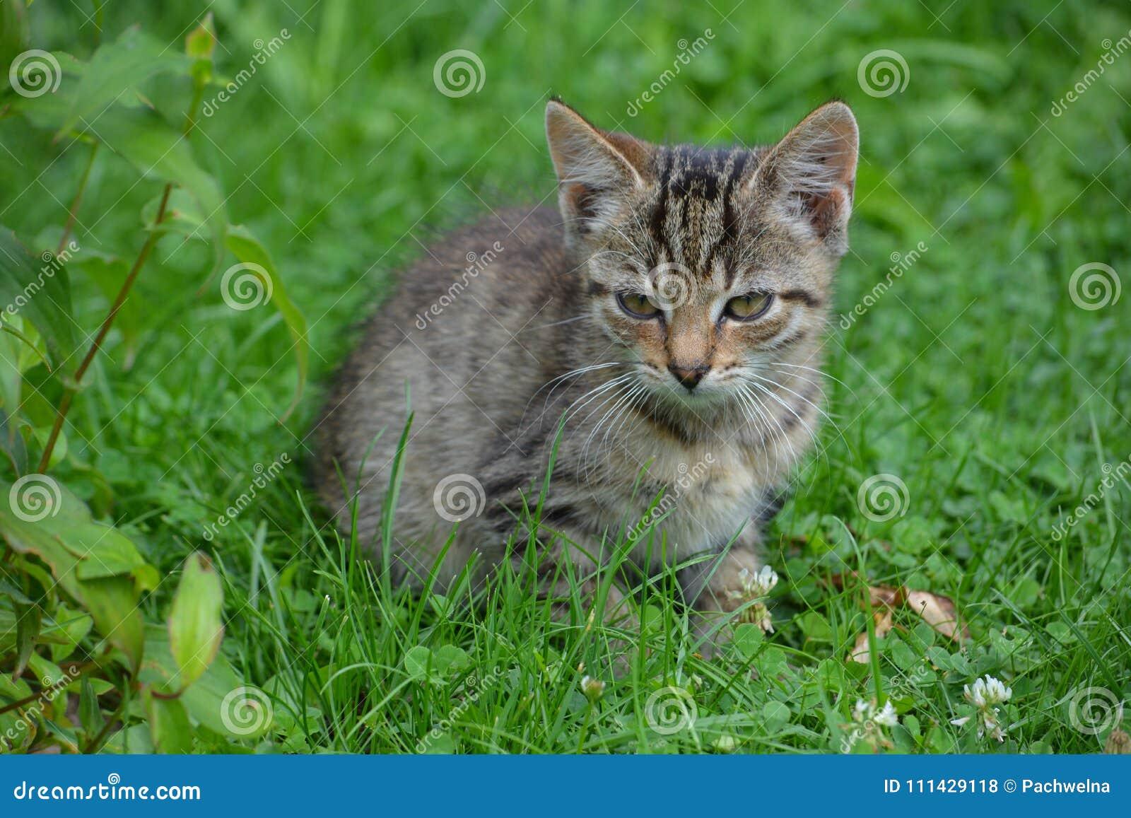 Trochę popielaty kota obsiadanie na gazonie