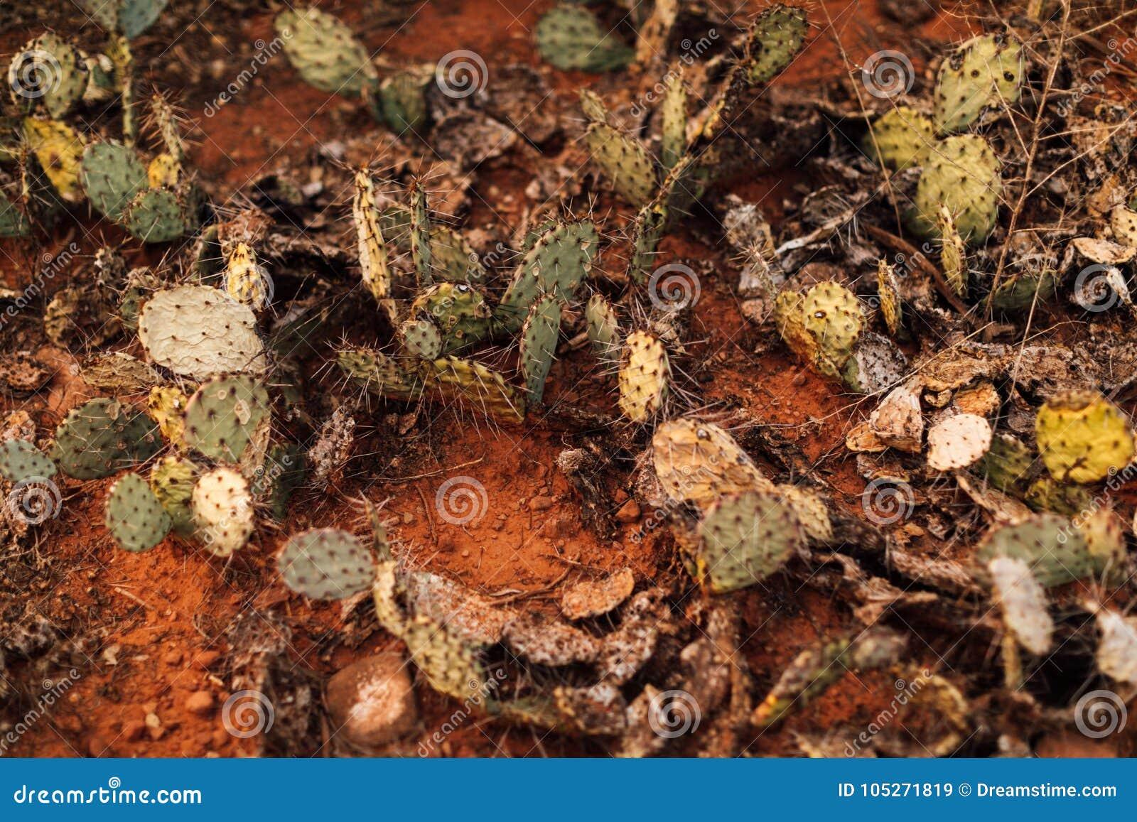 Trockene Kaktusfeigen in der Wüste