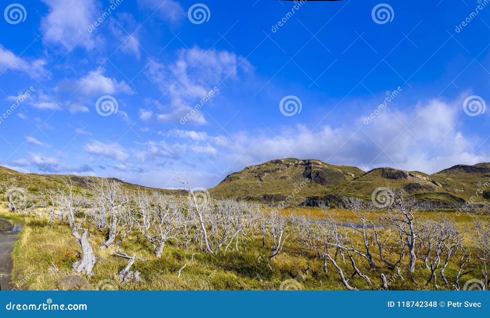 Trockene tote Bäume in einer Pampas