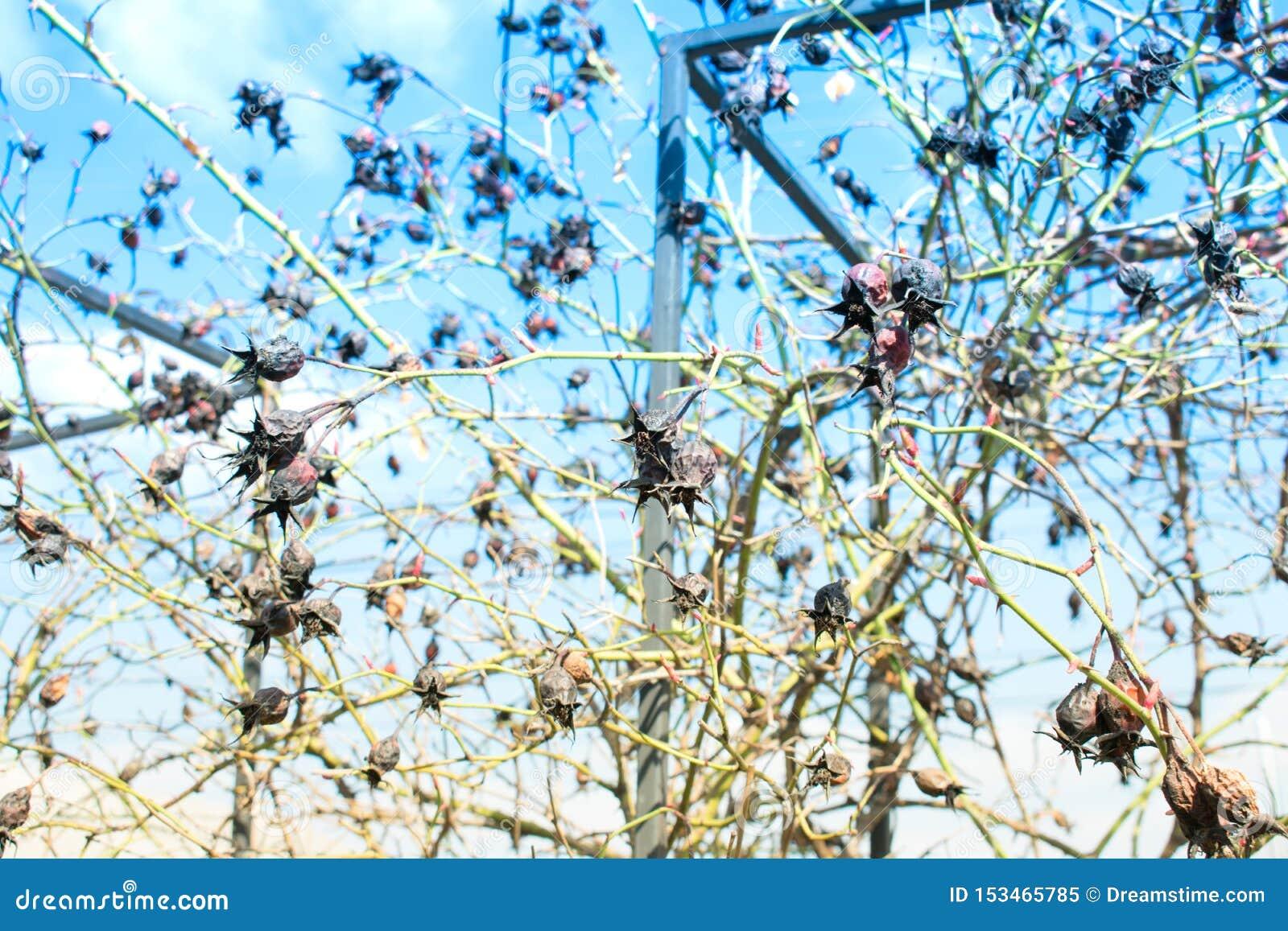 Trockene wilde spinnende Rose der Hagebutte im Herbst