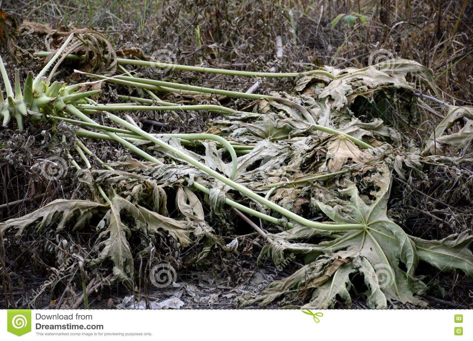 Trockener Papayabaum aus den Grund