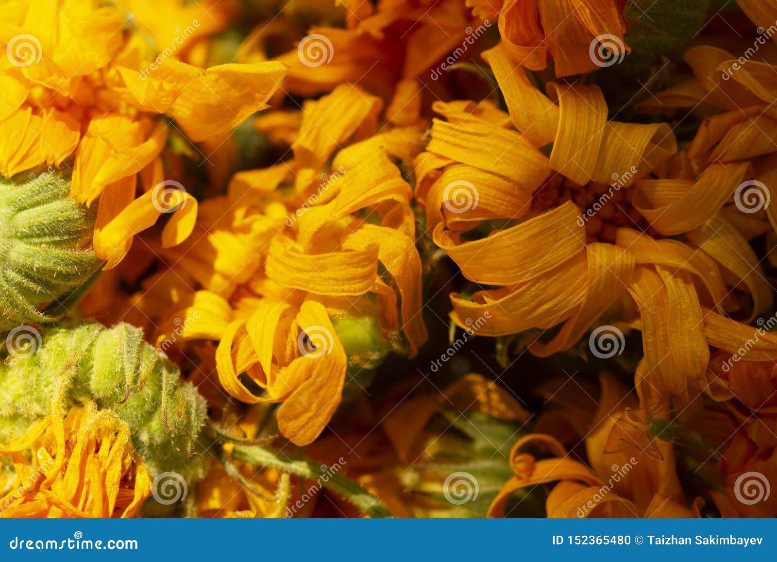 Trockenes Calendulafoto Calendulablume, Medizinkraut, Calendulahintergrund, organische Anlage Hintergrund von trockenen Calendula