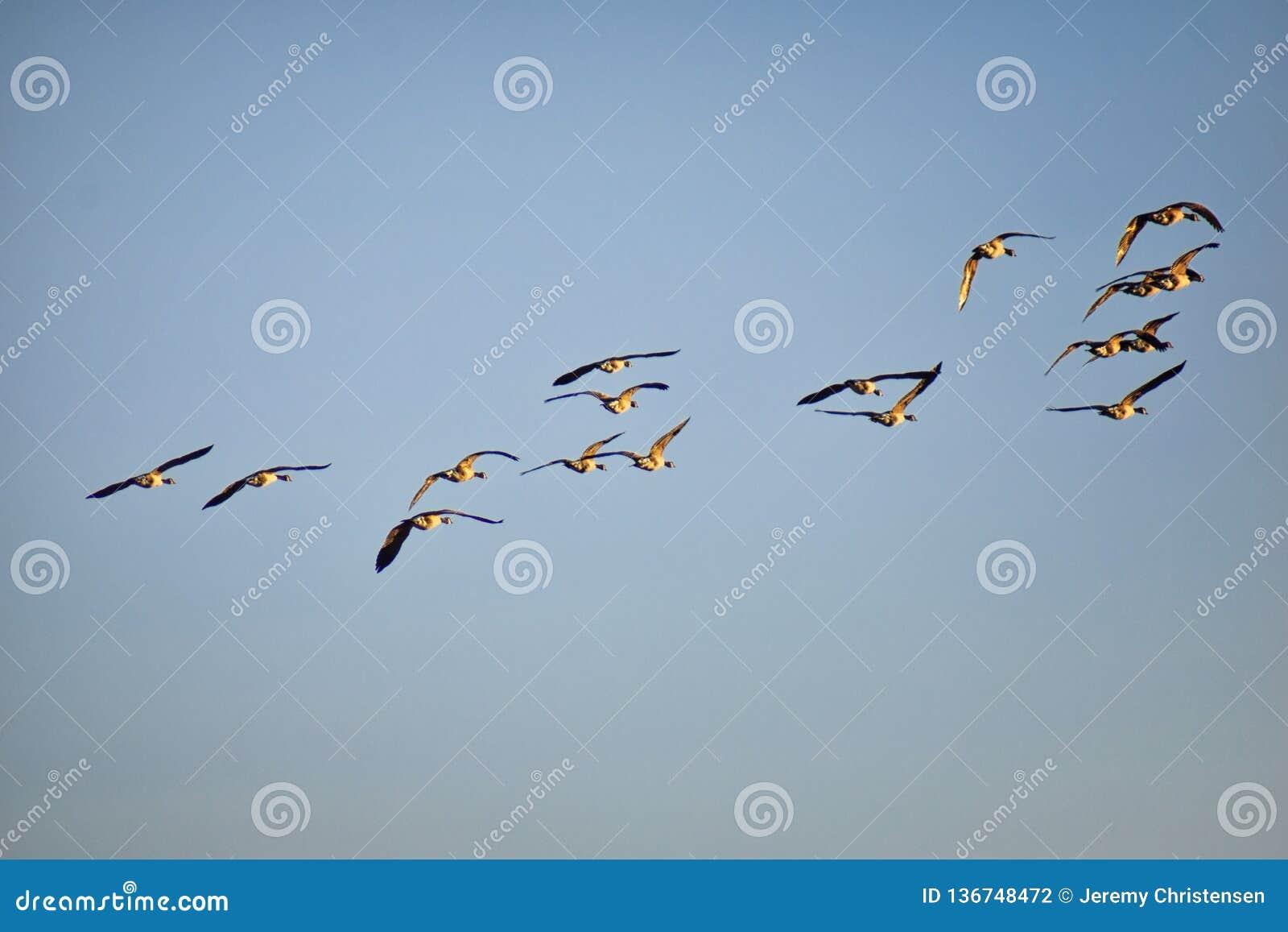 Troep van canadensis van de ganzenbranta van Canada tijdens de vlucht tegen blauwe hemel, een grote wilde gansspecies met een zwa