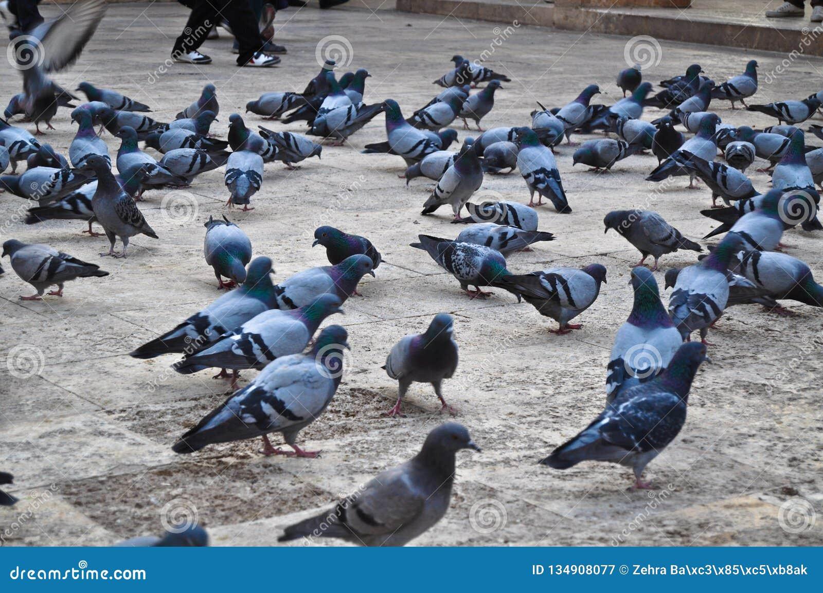 Troep van duiven