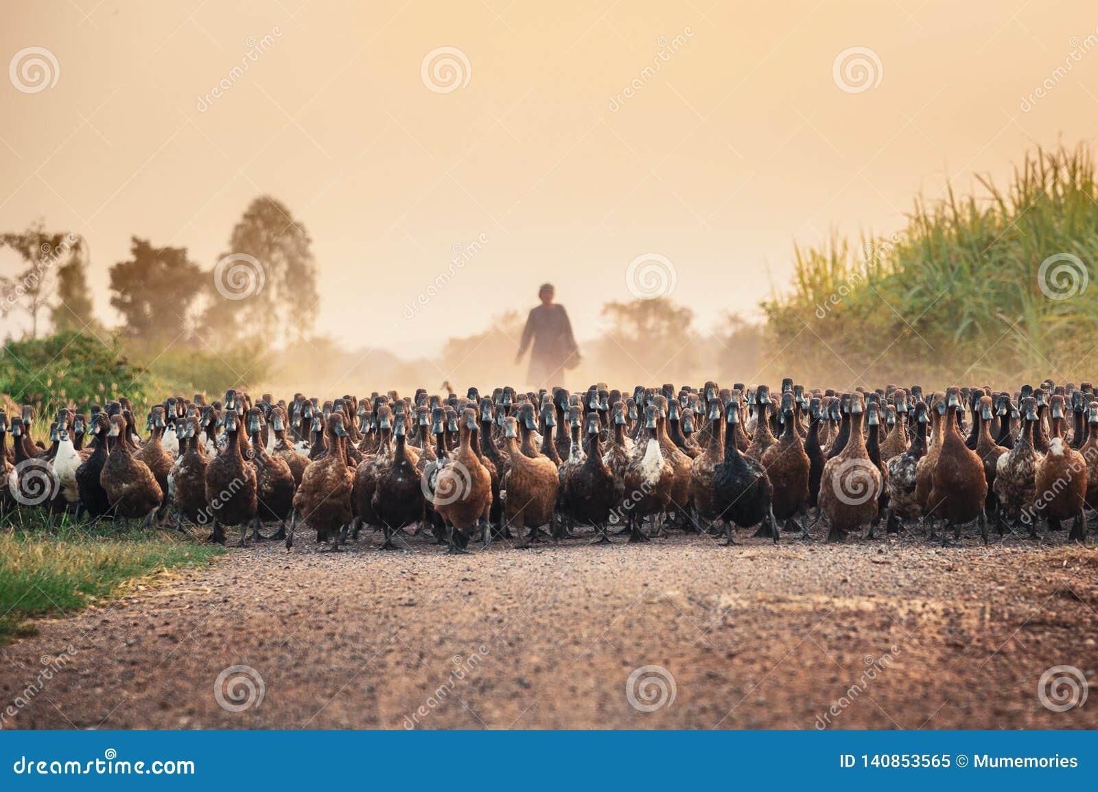 Troep van eenden met landbouwkundige het hoeden bij de landweg
