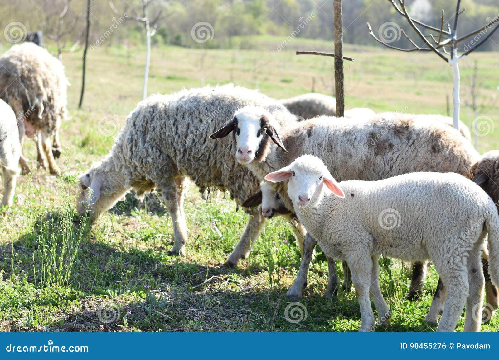 Troep van schapen