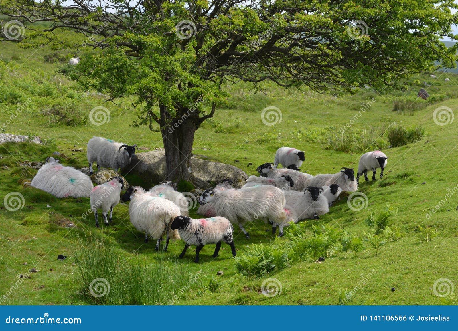 Troep van schapen onder een boom, het Nationale Park van Dartmoor