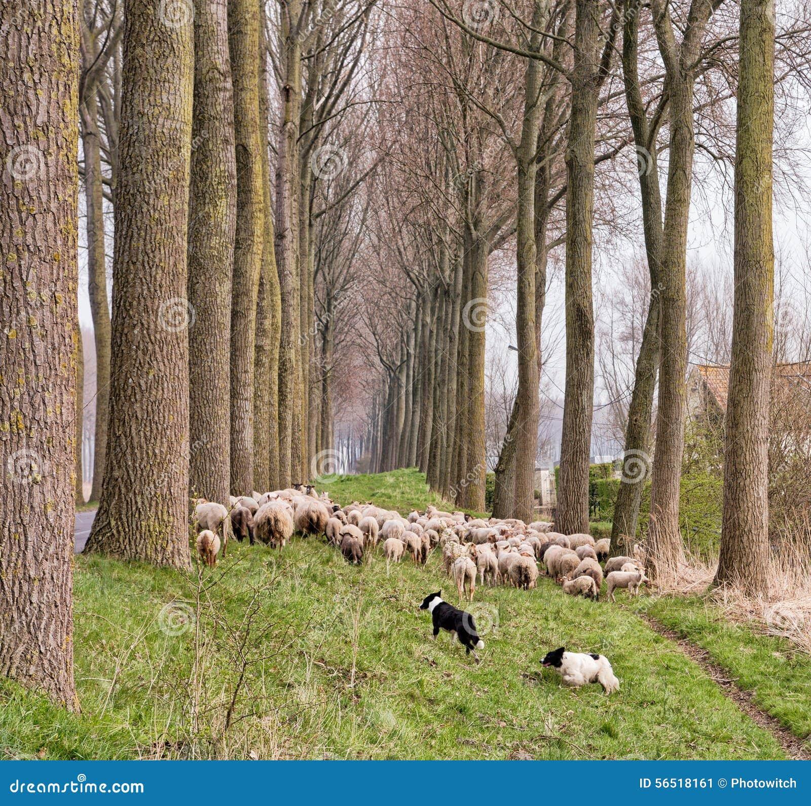 Troep van schapen in Vlaanderen