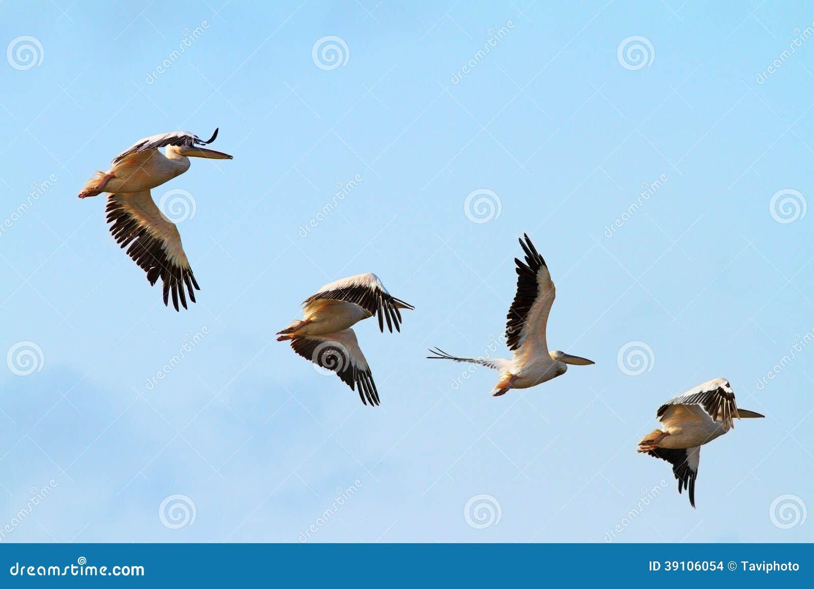 Troep van vier pelikanen