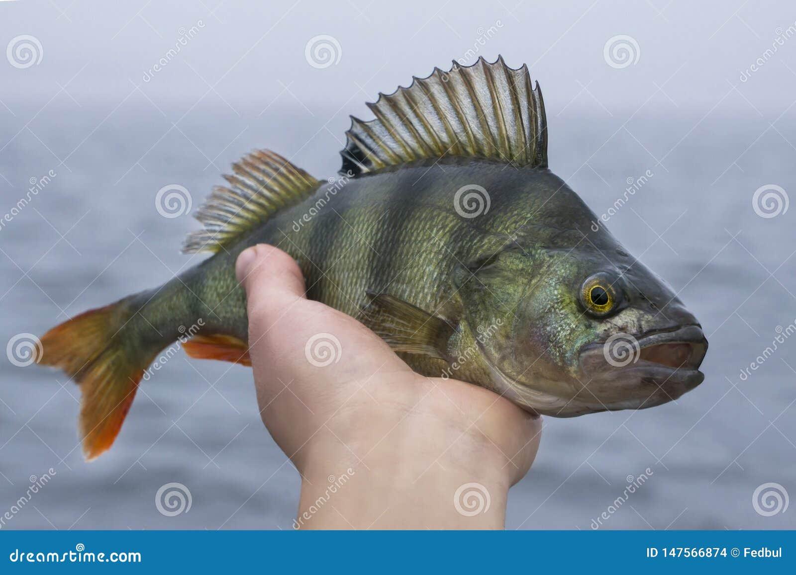 Trofeo de los pescados de la perca a disposici?n del pescador