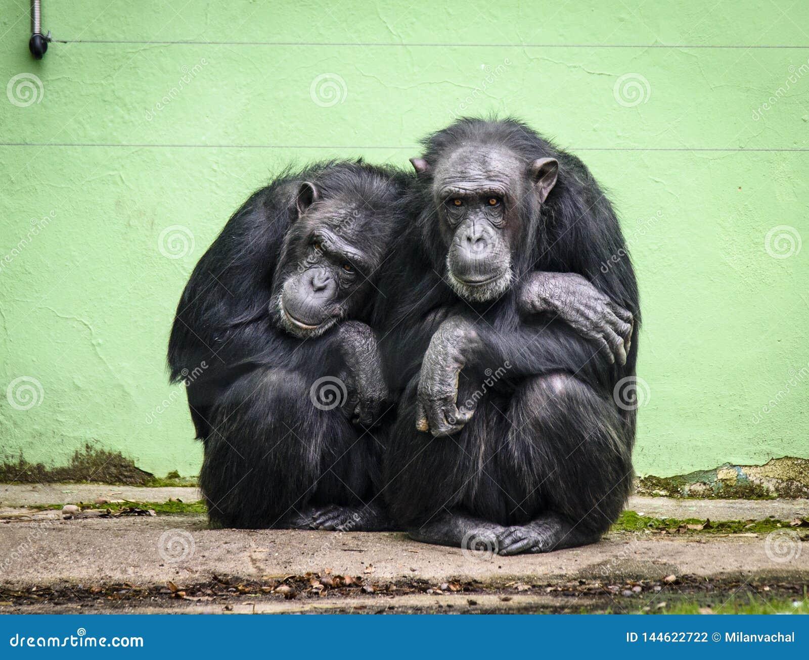 Trogloditas comuns da bandeja do chimpanzé no JARDIM ZOOLÓGICO em Pilsen, Checo Repiblic