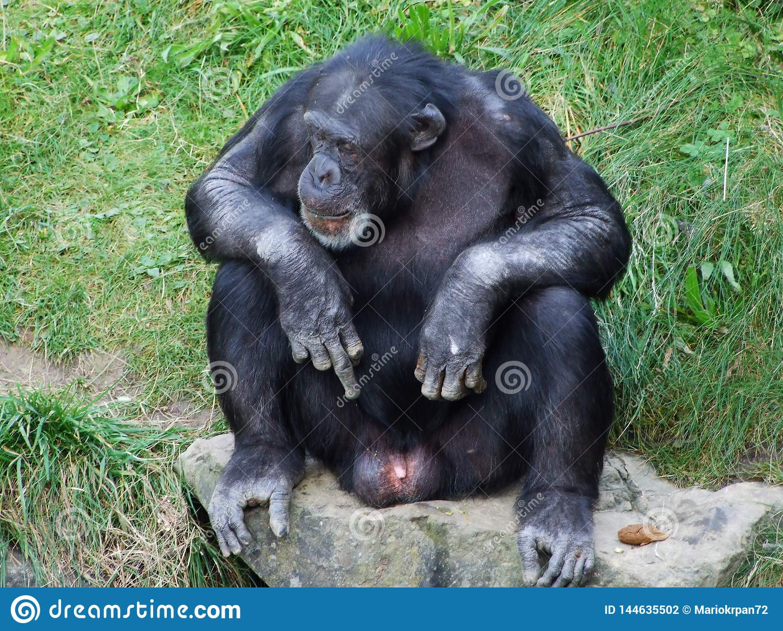 Troglodytes лотка шимпанзе, также общий шимпанзе, крепкий шимпанзе, шимпанзе или Der Schimpanse, зоопарк Abenteurland Вальтер