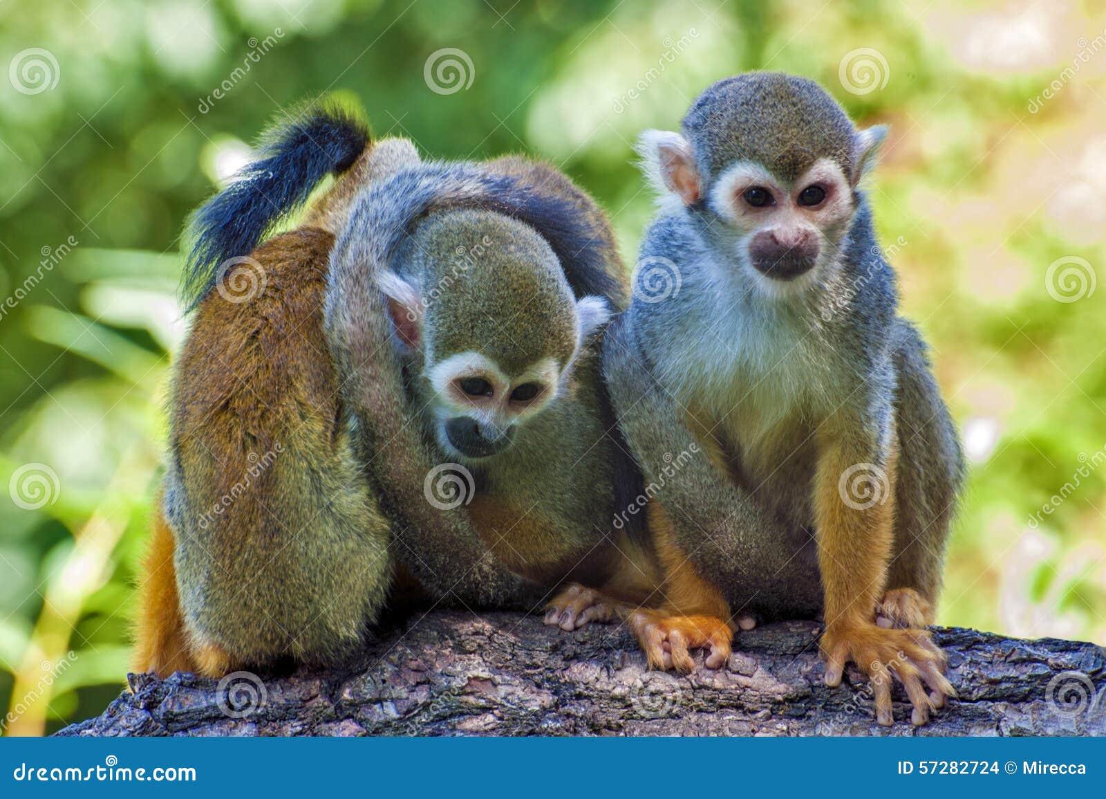 Trois amis - singe-écureuil - sciureus de Saimiri