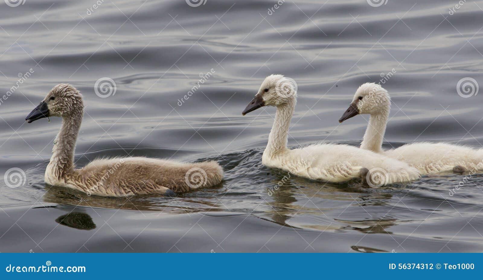 Trois beaux poussins des cygnes muets nagent