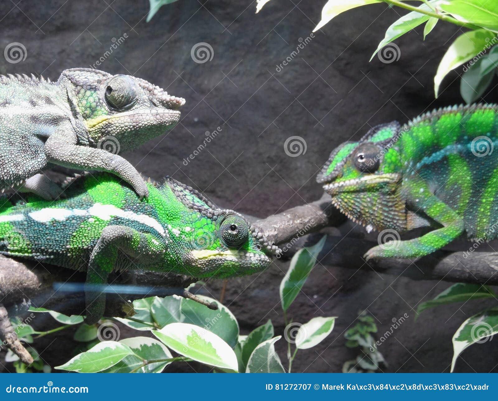 Trois caméléons