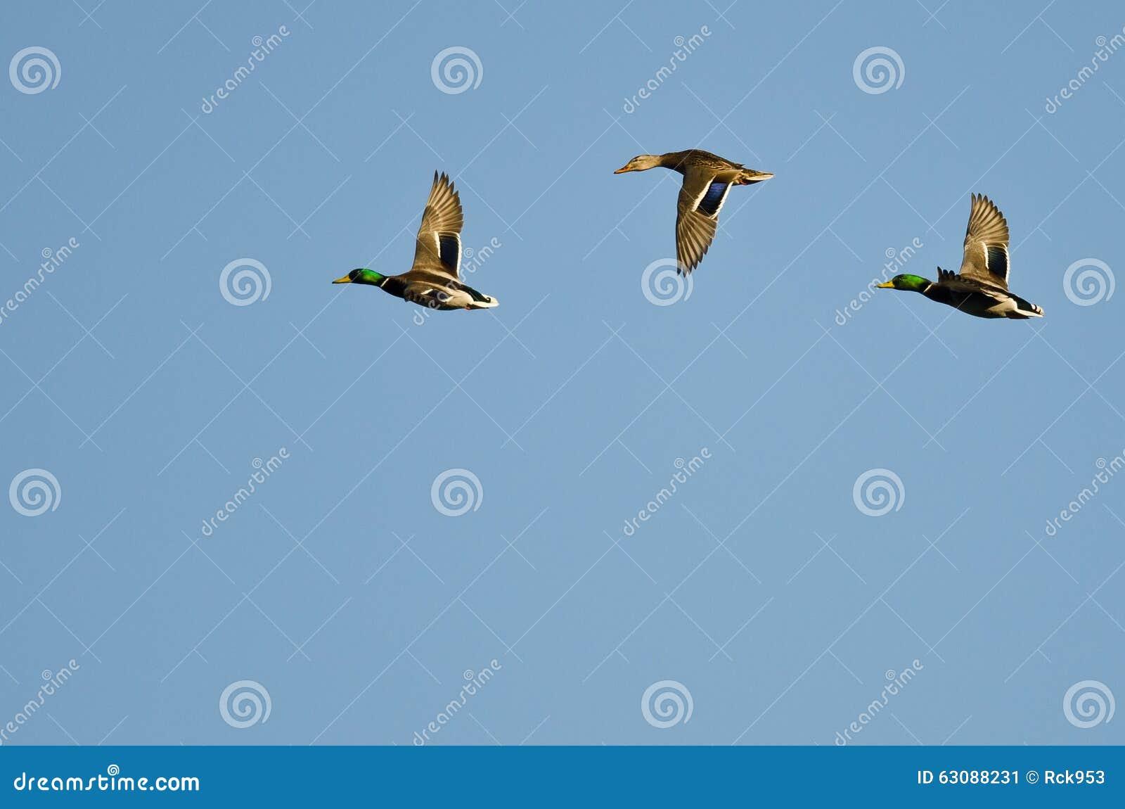 Download Trois Canards De Mallard Volant Dans Un Ciel Bleu Image stock - Image du trois, waterfowl: 63088231