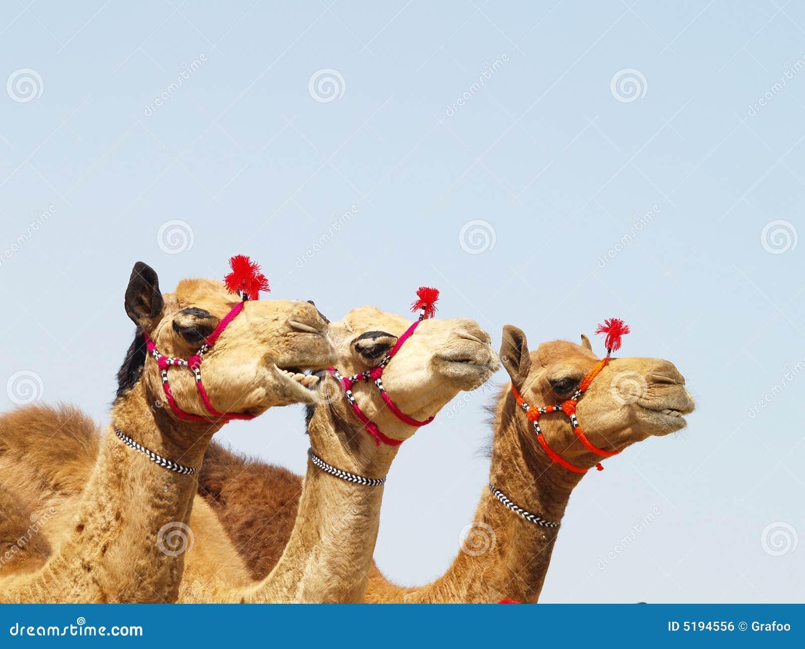 Trois chameaux
