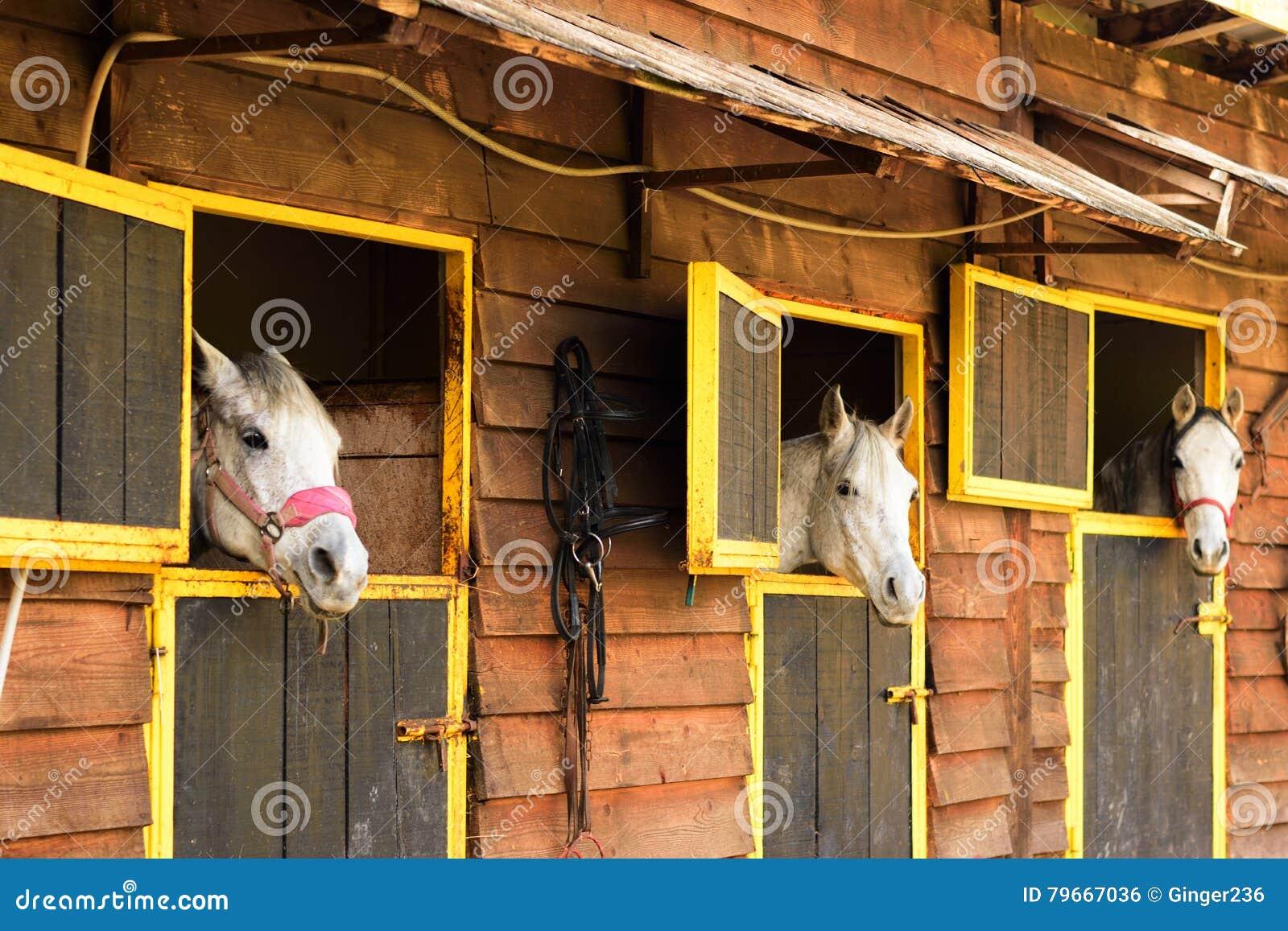 Trois chevaux Arabes blancs regardant de leurs boîtes