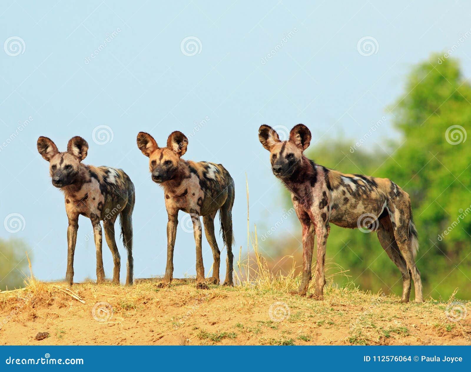 Trois chiens sauvages semblant vigilants avec le fond naturel de ciel bleu et de buisson en parc national du sud de Luangwa, Zamb