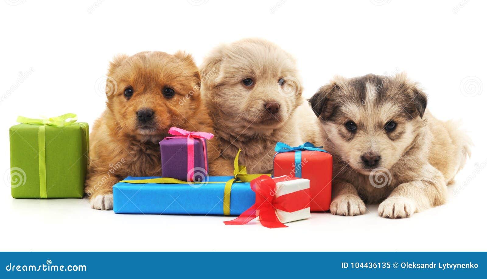 Trois chiots avec des cadeaux