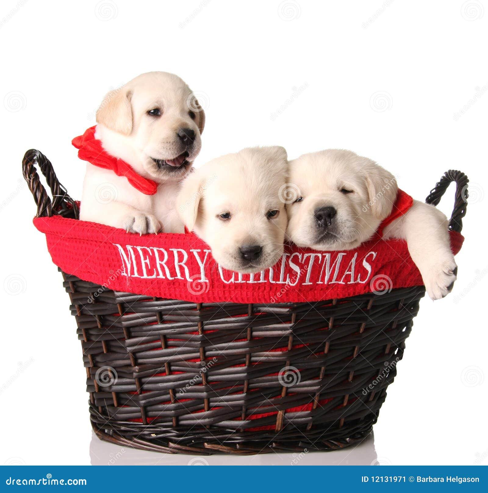 Trois chiots de Noël