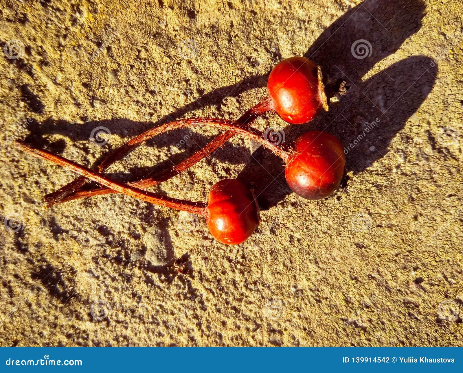Trois cynorrhodons secs rouges sur le béton