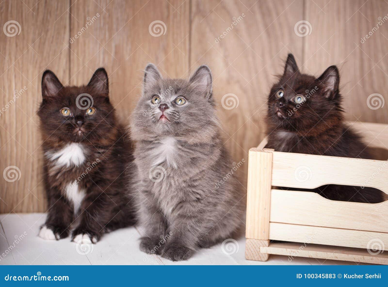 Trois drôles et chats noirs mignons de queue écourtée de Kurilian se  reposent