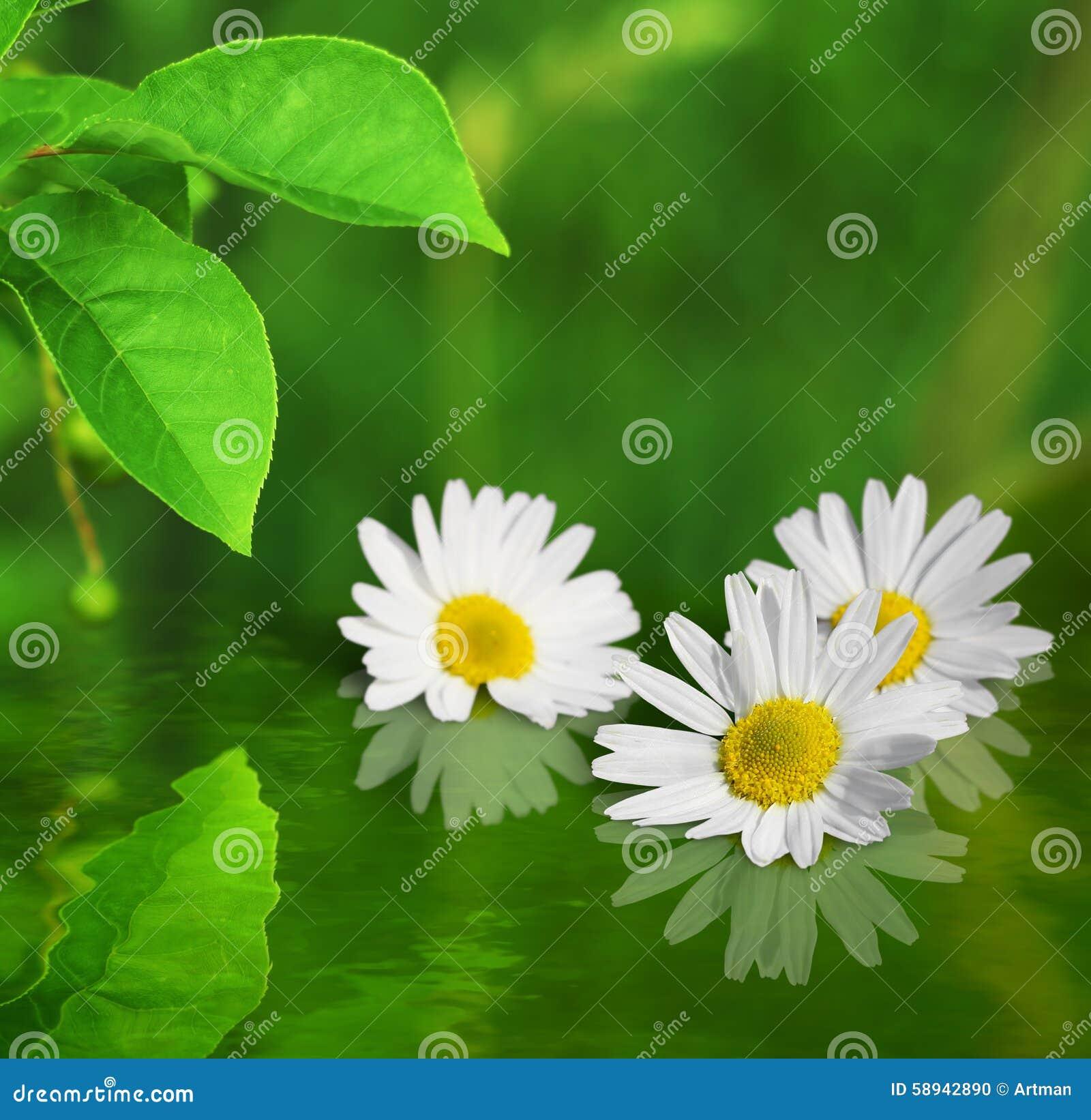 trois fleurs de marguerite sur le fond vert se sont refl t es dans l 39 eau photo stock image. Black Bedroom Furniture Sets. Home Design Ideas
