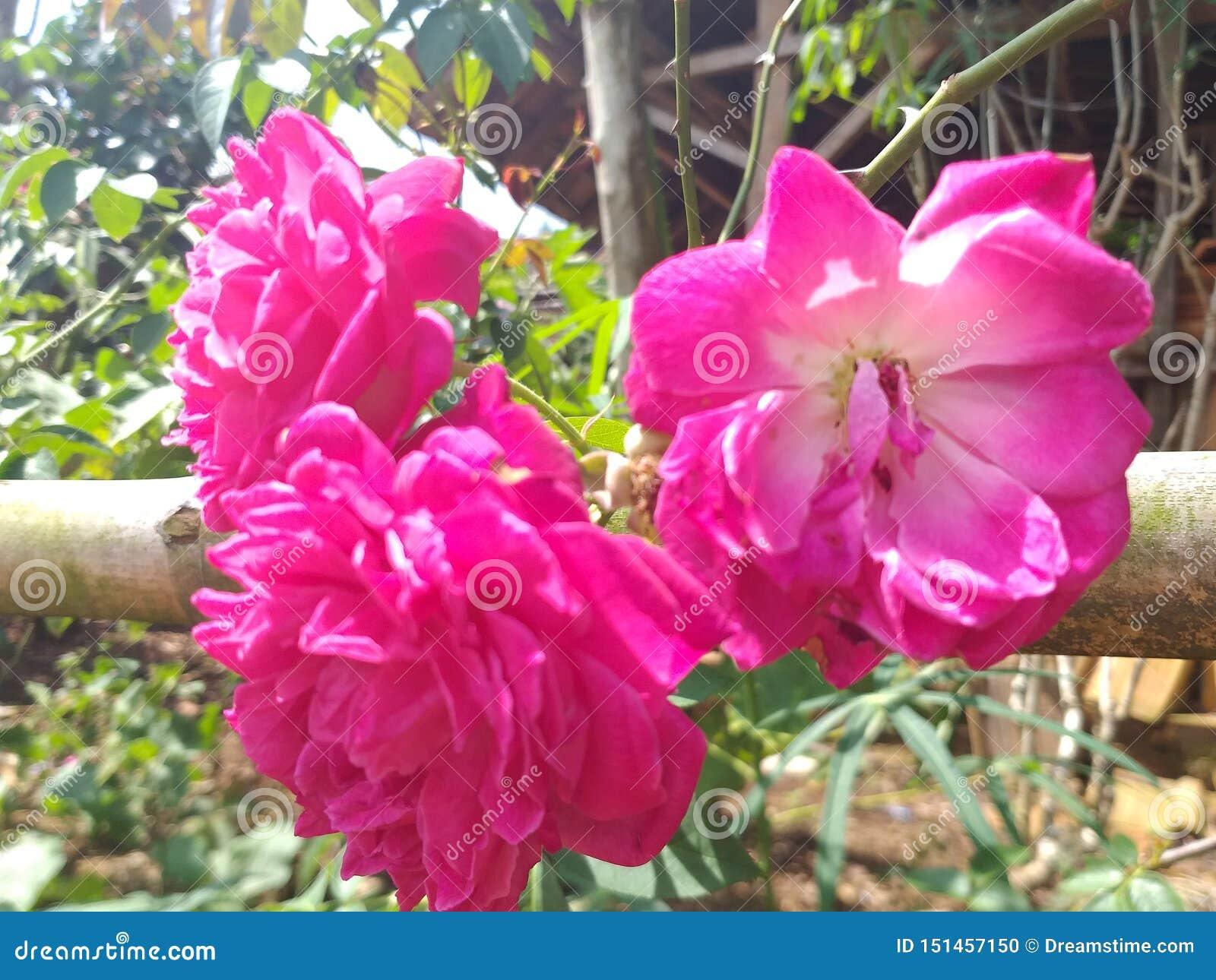 Trois fleurs roses