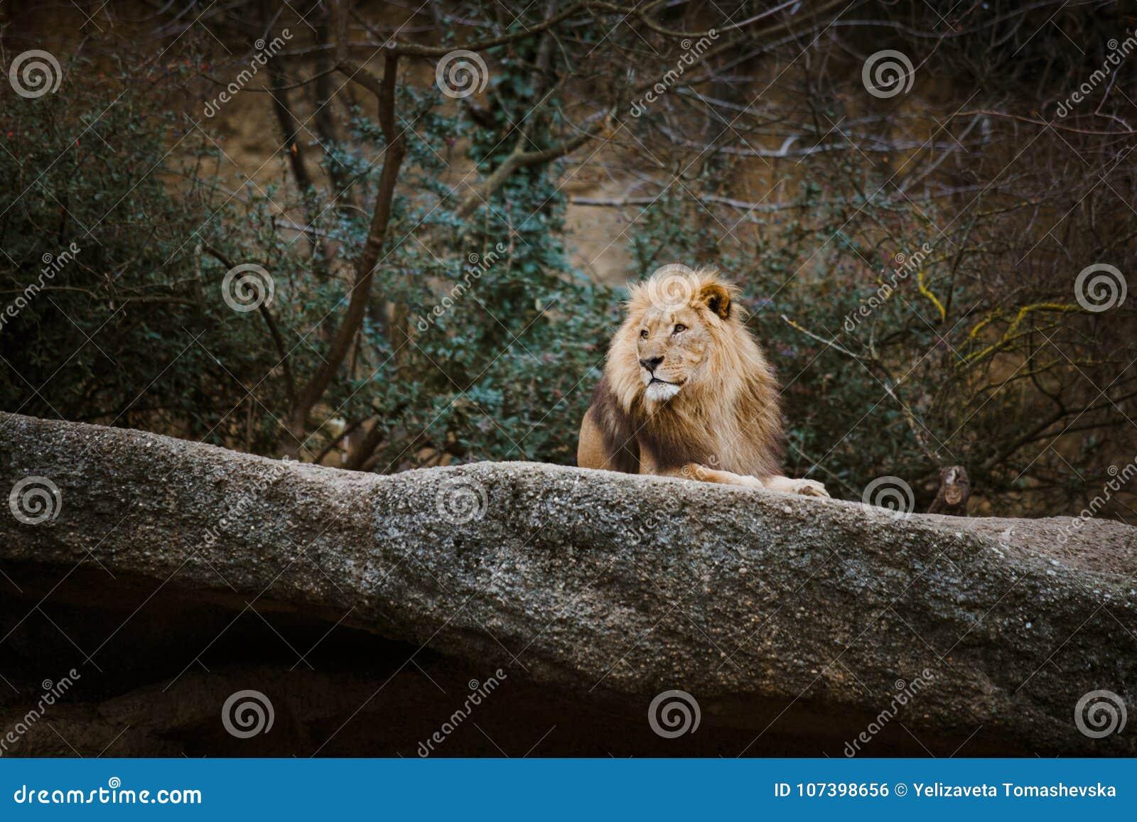 Trois lionnes africaines de couleur rouge se reposent sur une pierre dans un zoo de la ville de Bâle en Suisse en hiver par temps