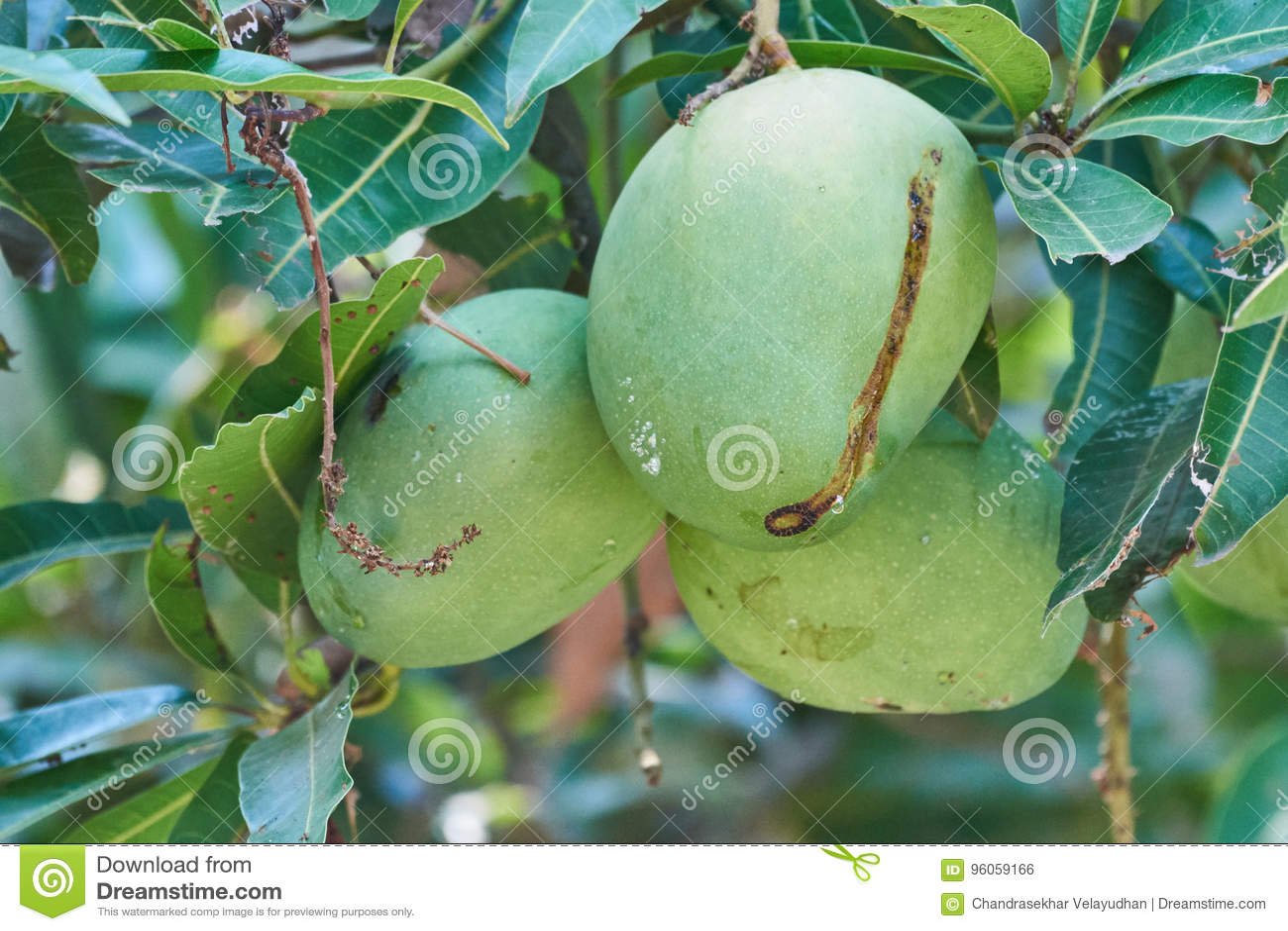 Trois mangues vertes pendant d un arbre
