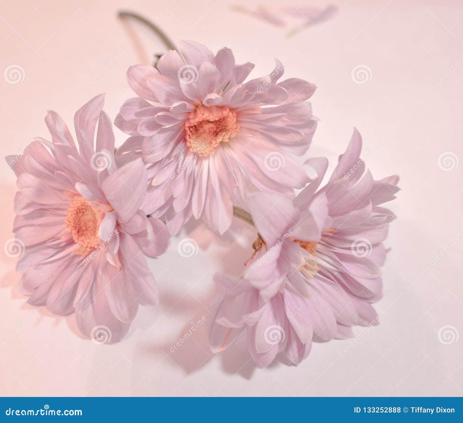 Trois marguerites de Gerbera de roses pâles dans un style romantique