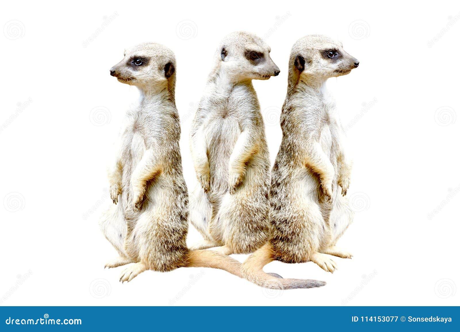 Trois meerkats se tenant ensemble