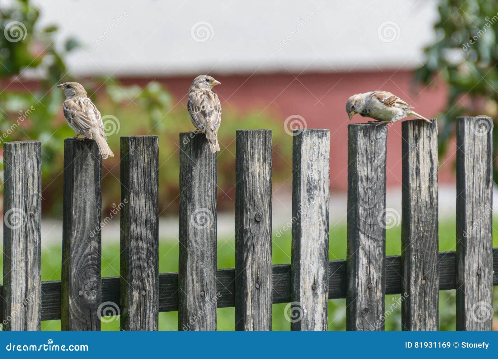 Trois moineaux sur une barrière en bois