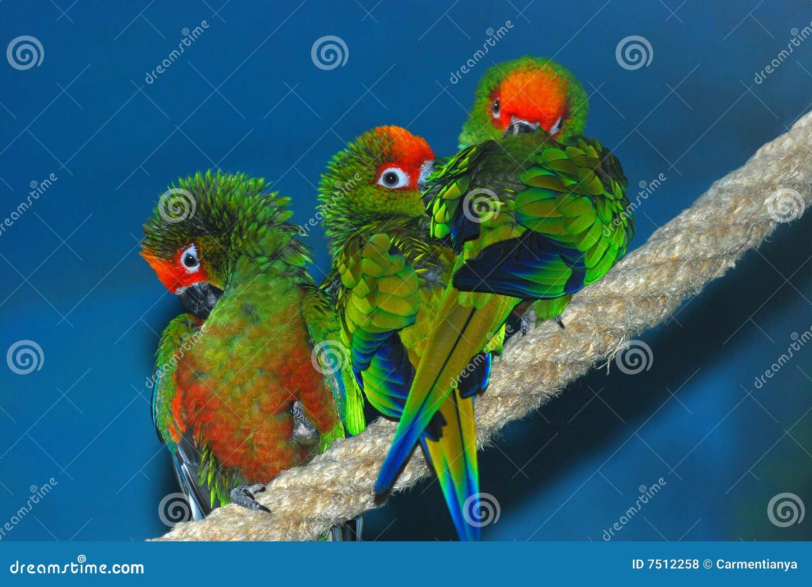 Trois perroquets