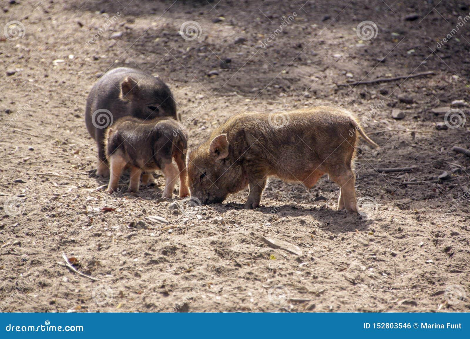 Trois petits porcs mignons dans la basse-cour