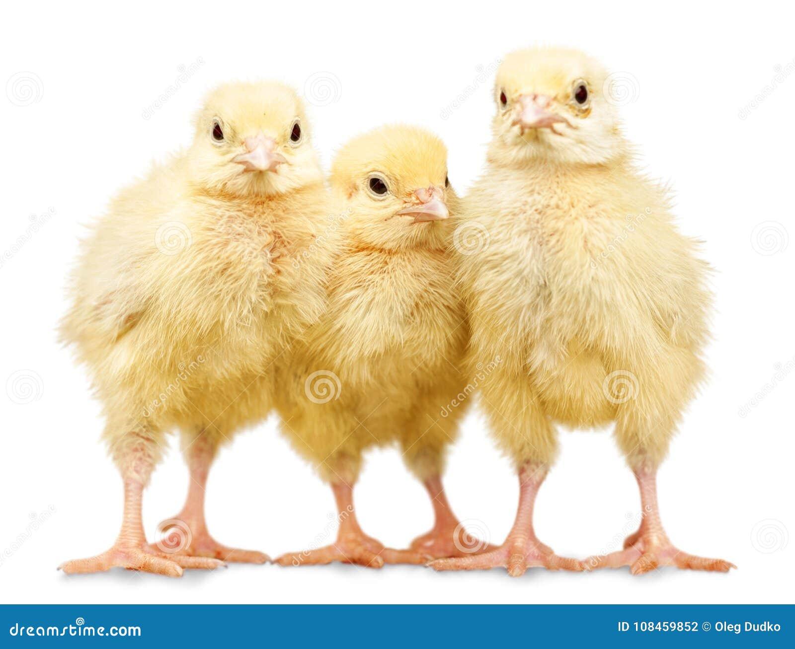 Trois petits poulets d isolement sur le fond blanc