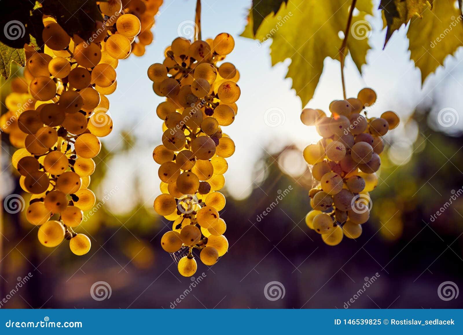 Trois raisins jaunes accrochant sur la vigne