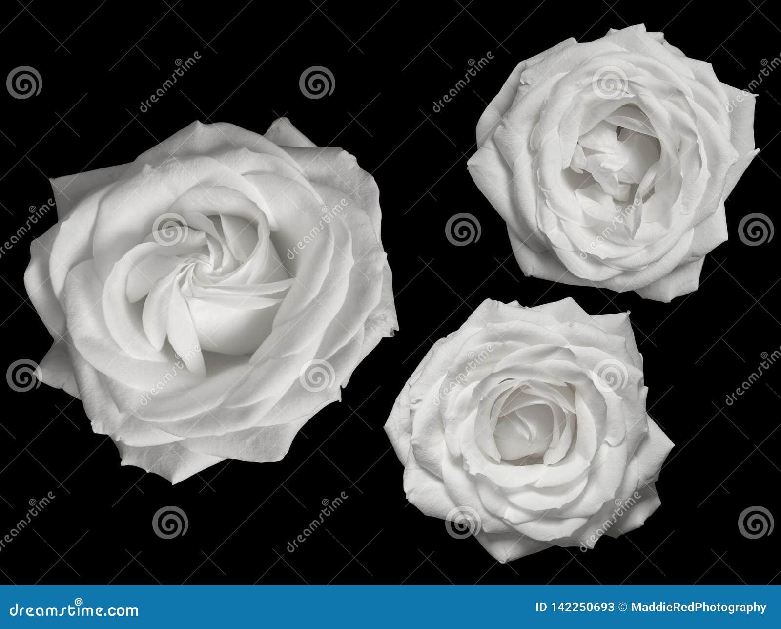 Trois roses blanches pures sur un fond noir