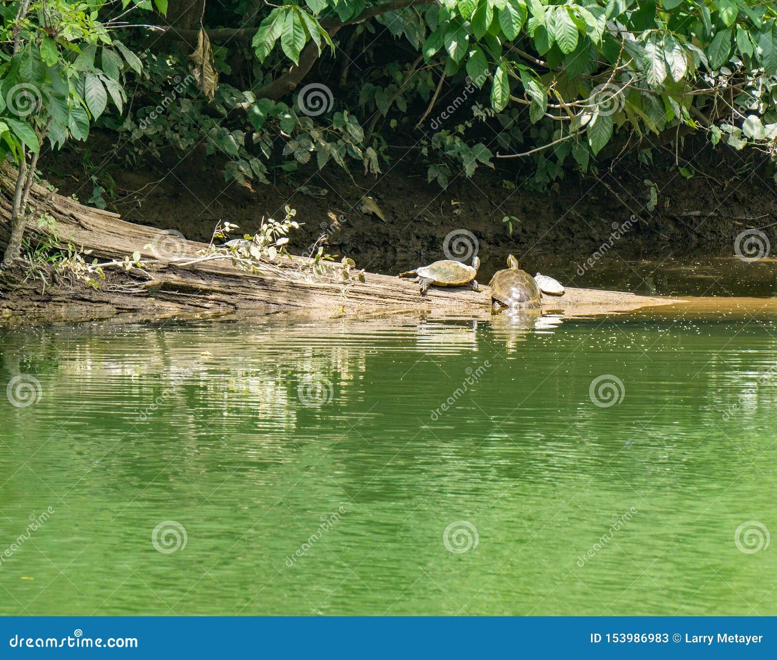 Trois tortues se reposant sur un rondin