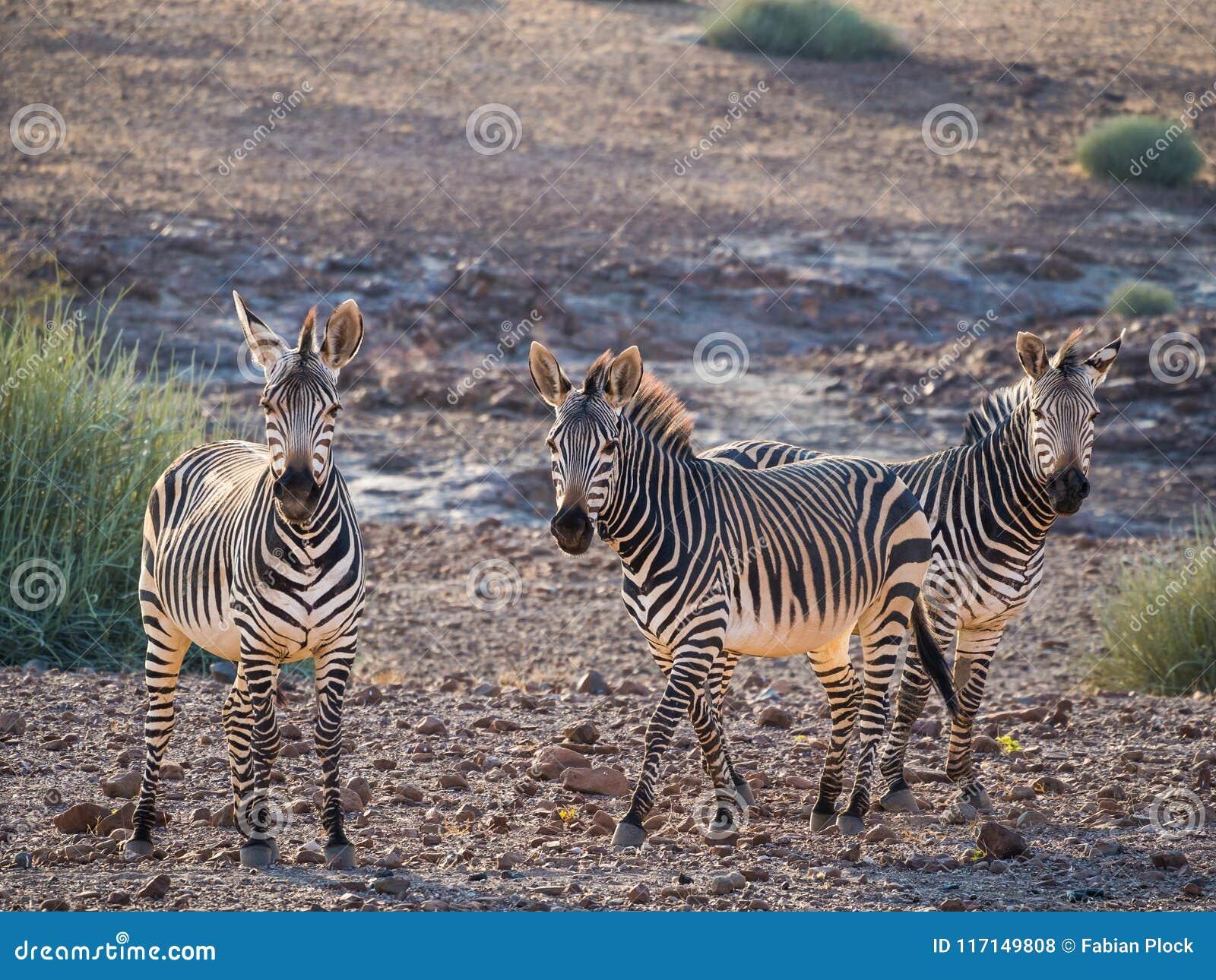 Trois zèbres se tenant dans des environs rocheux pendant la lumière d après-midi, concession de Palmwag, Namibie, Afrique
