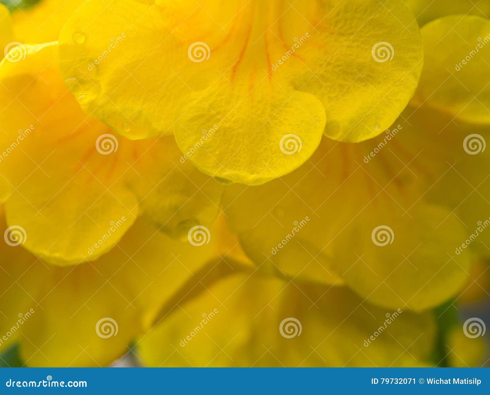 Trompeta-flor amarilla después de la lluvia