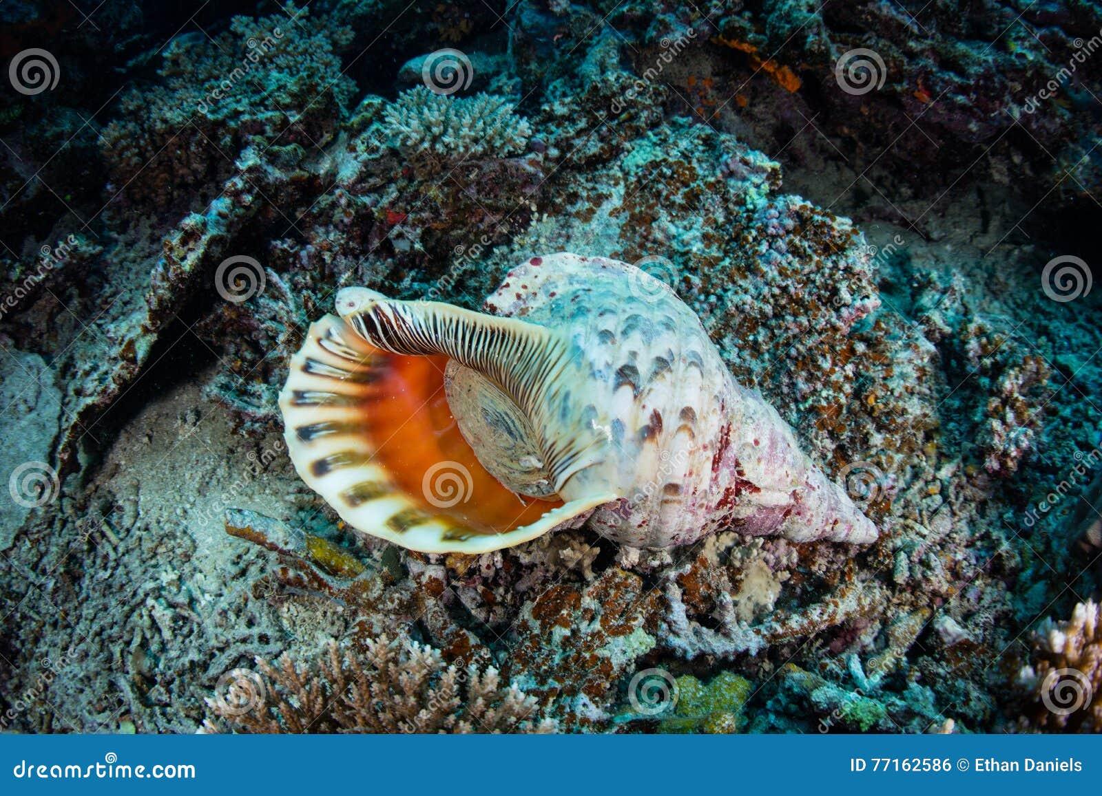 Trompette Shell de Triton