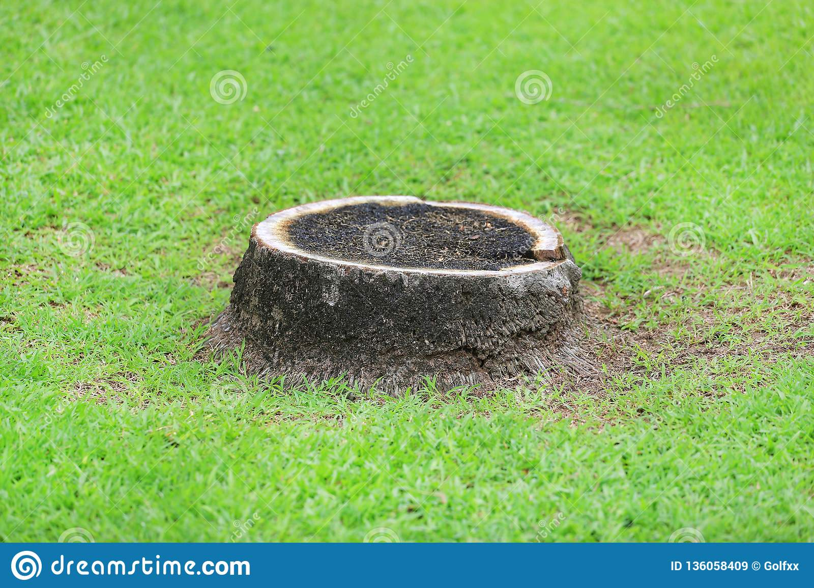 Tronçon de noix de coco sur le jardin d herbe verte en parc Cut off a séché le palmier de noix de coco