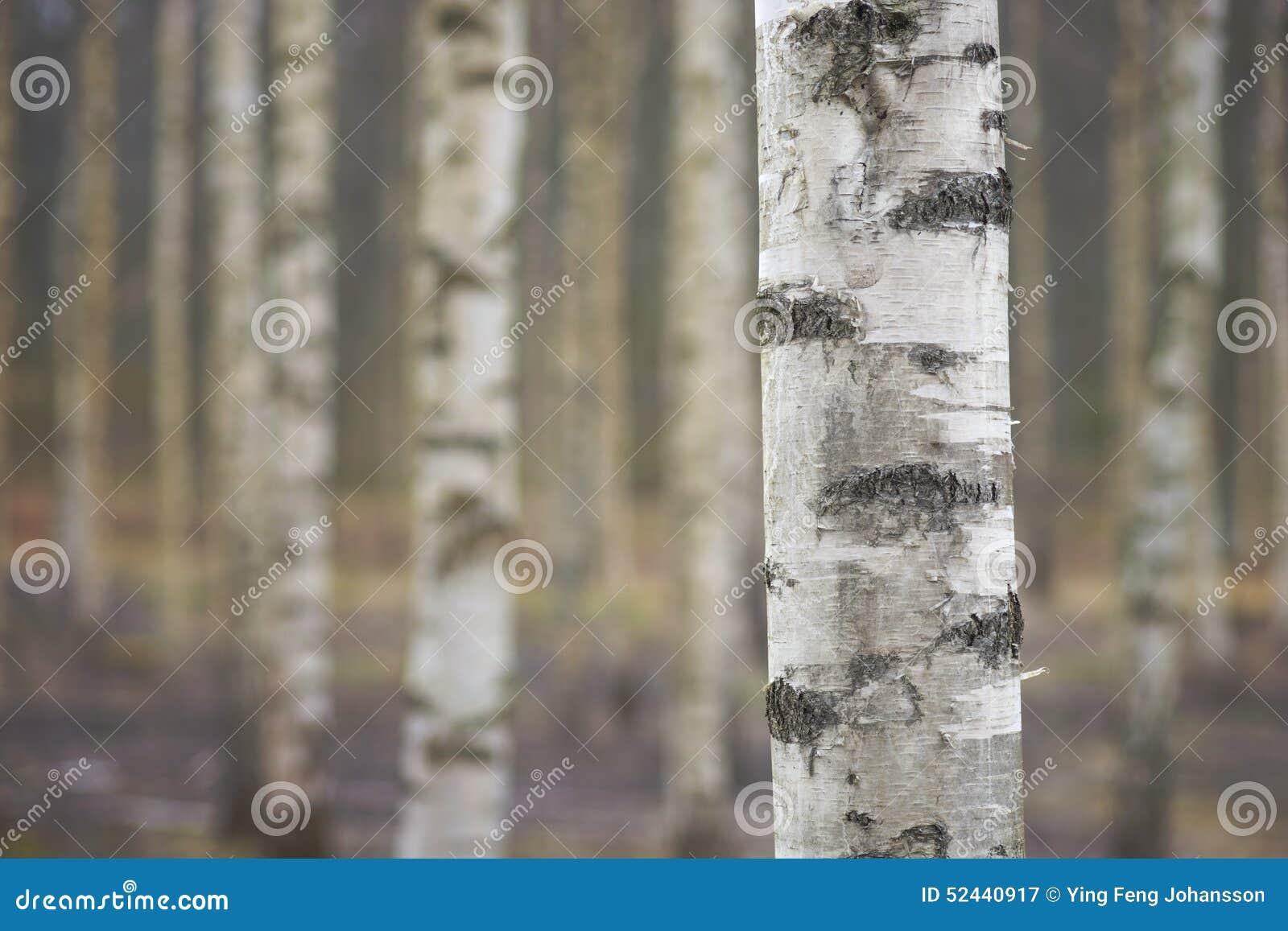 tronc d 39 arbre de bouleau photo stock image 52440917. Black Bedroom Furniture Sets. Home Design Ideas